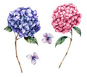 Watercolor pink and violet hydrangea set. Hand painted flowers with leaves and branch isolated on white background. Nature botanical illustration for design, print. Realistic delicate plant