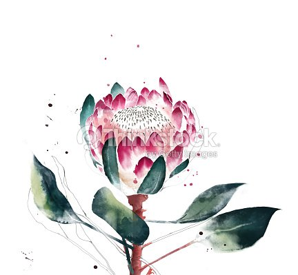Watercolor Protea Flower Hand Painted Single Of Stock Illustration
