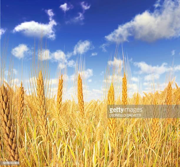 Wheat field against a blue sky, artwork
