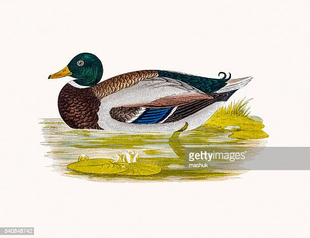 illustrations et dessins animés de canard colvert getty images