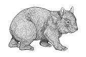 Pen and ink drawing of a Wombat by Craig Gosling in 1995 in his Indianapolis, Indiana home studio.