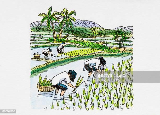 Rice Paddy Stock Illustrations - 59.5KB