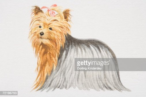 Yorkshire Terrier With Pink Bow In Its Hair Side View Stock
