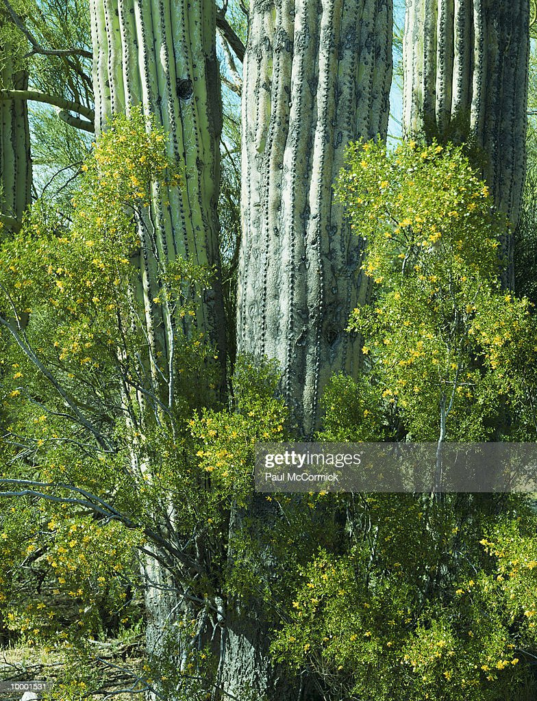 SAGUARO CACTUS & BUSH FLOWERS IN ARIZONA : Foto de stock