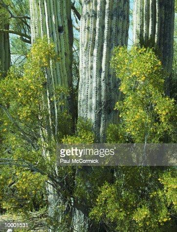 SAGUARO CACTUS & BUSH FLOWERS IN ARIZONA : Stock Photo