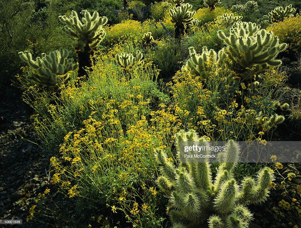 TEDDY BEAR CHOLLA & BUSH FLOWERS IN ARIZONA : Stock Photo