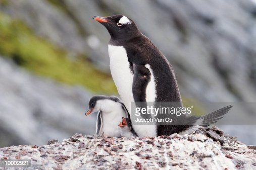GENTOO PENGUIN AND CHICK IN ANTARCTICA : Stock Photo