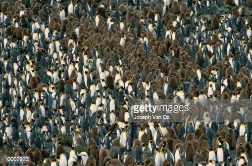 KING PENGUINS IN THE SOUTH GEORGIA ISLANDS : Stock-Foto