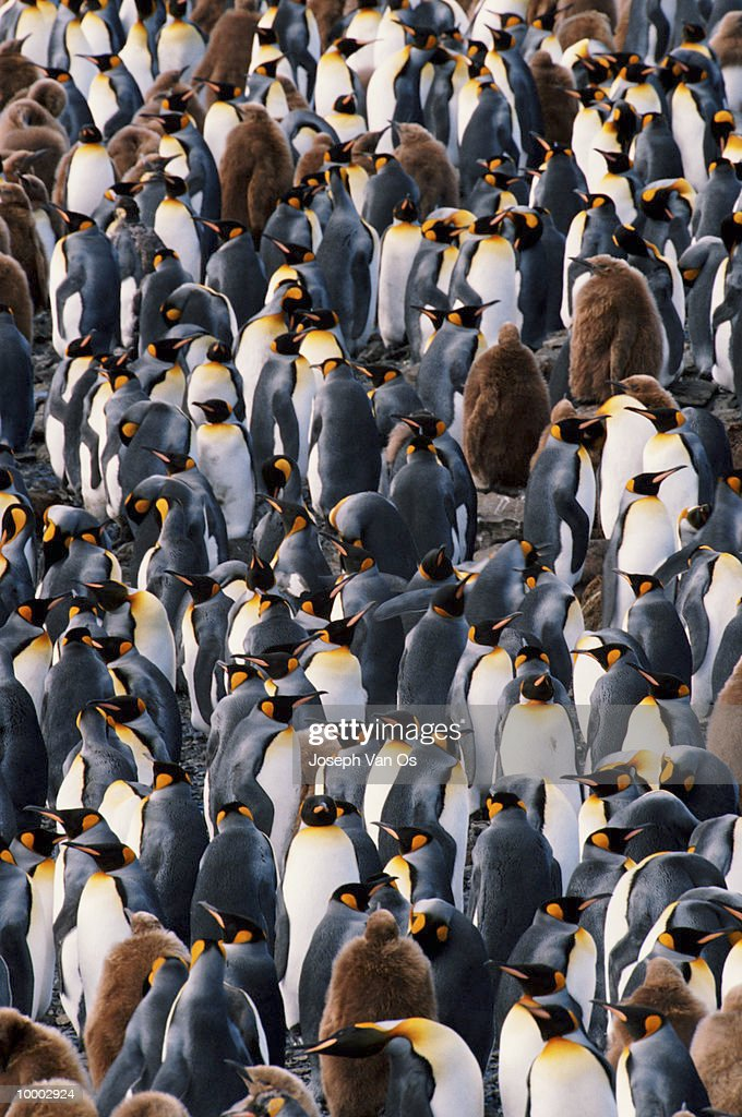 KING PENGUINS ON THE SOUTH GEORGIA ISLAND : Bildbanksbilder