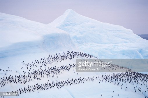 OVERVIEW OF PENGUINS ON A GLACIER : Photo