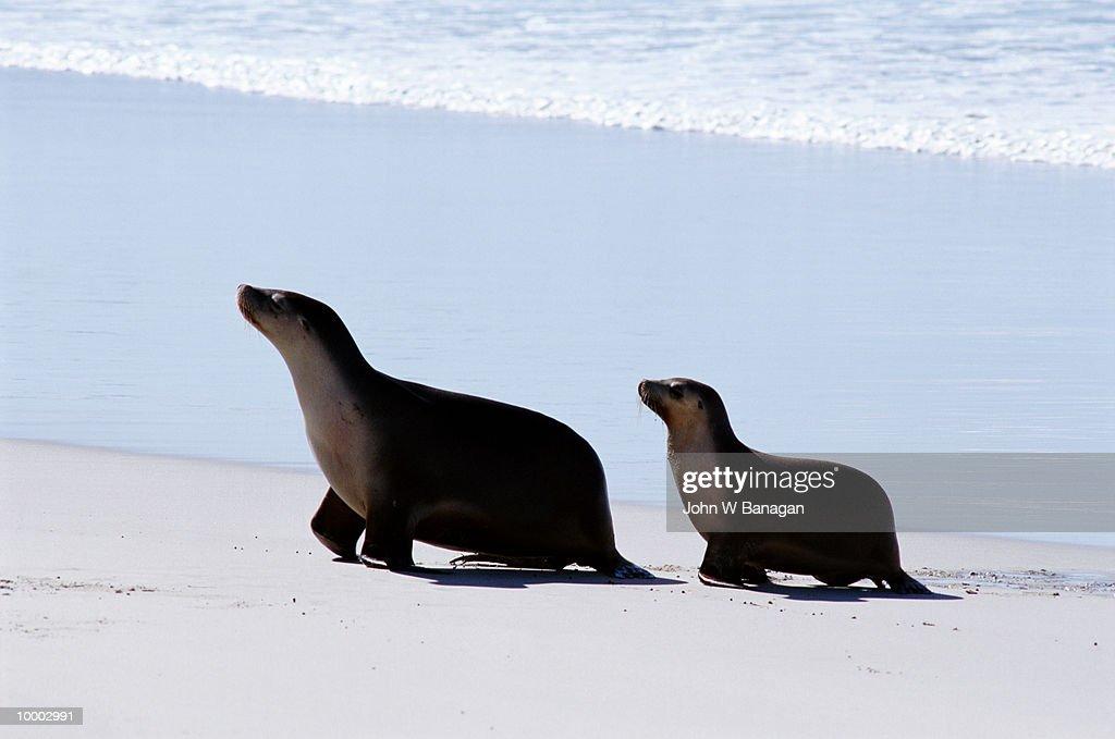 SEALIONS ON KANGAROO ISLAND IN SOUTH AUSTRALIA : Stock Photo