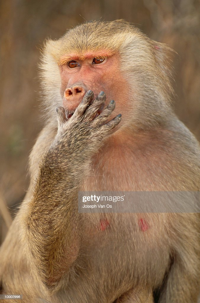 FEMALE HAMADRYAS BABOON IN ETHIOPIA : Stock Photo