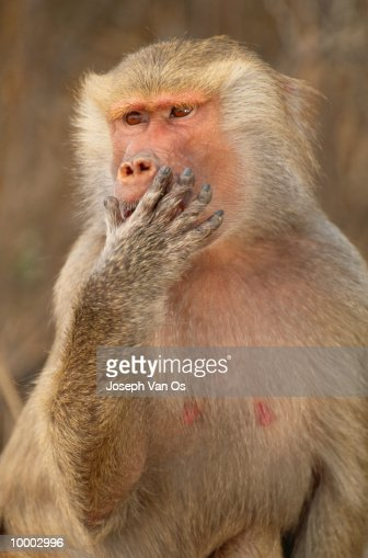 FEMALE HAMADRYAS BABOON IN ETHIOPIA : Stock-Foto