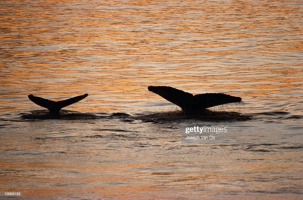 SILHOUETTE OF A HUMPBACK WHALE TAILS ABOVE WATER : Stock Photo