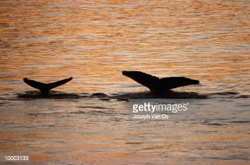 SILHOUETTE OF A HUMPBACK WHALE TAILS ABOVE WATER : Stock-Foto