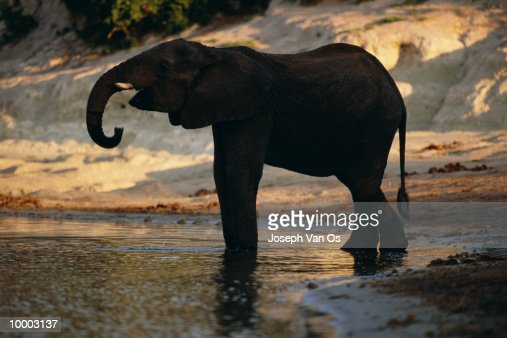 ELEPHANT AT RIVER AT CHOBE NATIONAL PARK IN BOTSWANA : Stock Photo