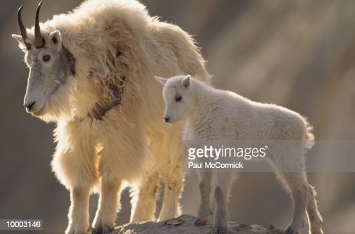 MOUNTAIN GOAT WIRTH KID AT JASPER NATIONAL PARK IN CANADA : Stock-Foto