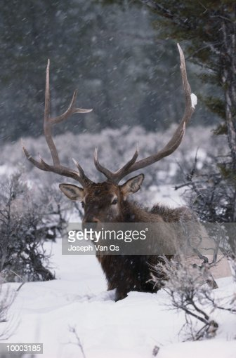 AMERICAN ELK IN SNOW AT YELLOWSTONE NATIONAL PARK IN WYOMING : Stock Photo