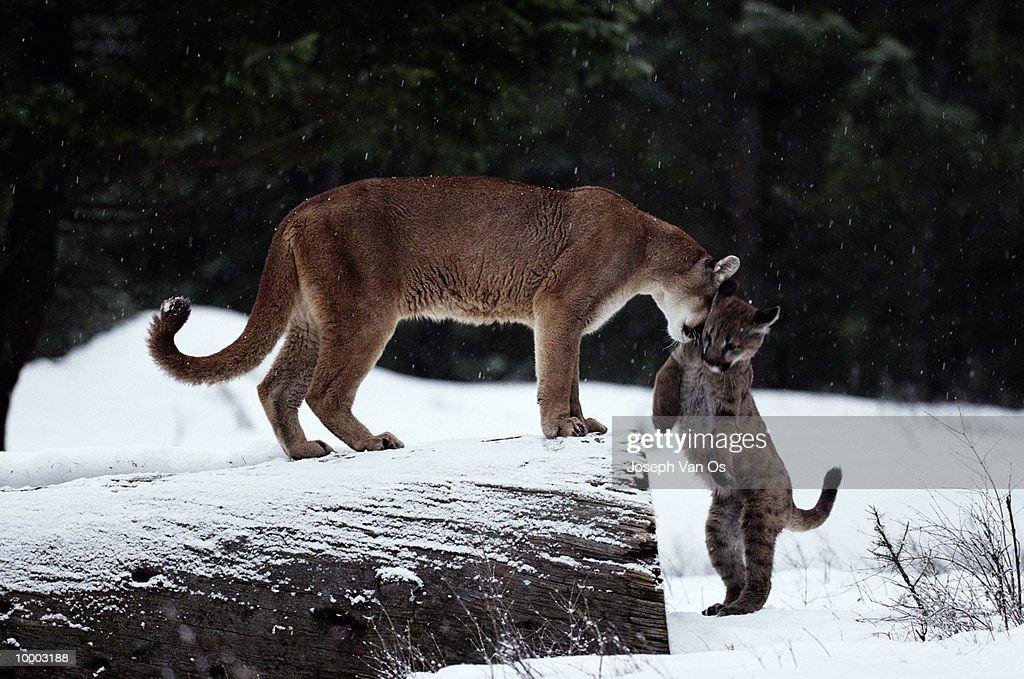 COUGAR W/KITTEN IN SNOW IN NORTH AMERICA : Stock-Foto