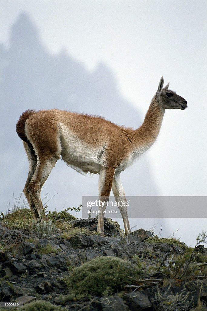 GUANACO AT TORRES DEL PAINE NATIONAL PARK IN CHILE : Stock Photo