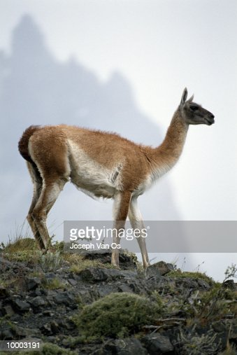 GUANACO AT TORRES DEL PAINE NATIONAL PARK IN CHILE : Stockfoto