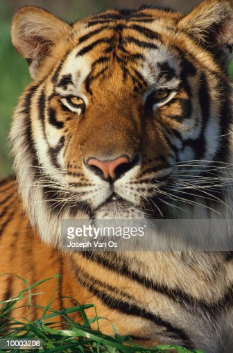 BENGAL TIGER IN DETAIL : Stock Photo