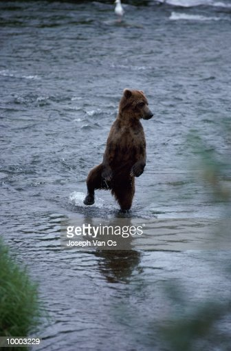 UPRIGHT BROWN BEAR WITH FOOT UP IN RIVER IN ALASKA : ストックフォト
