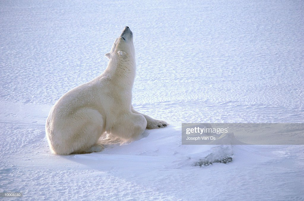 POLAR BEAR ON SNOW LOOKING UP IN CANADA : Stock Photo