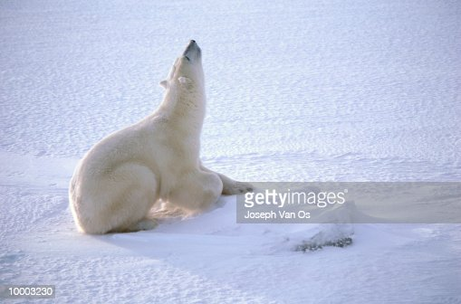 POLAR BEAR ON SNOW LOOKING UP IN CANADA : Photo