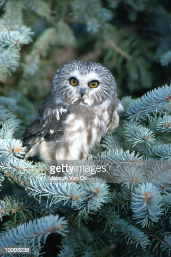 SAW WHET OWL IN EVERGREEN TREE IN COLORADO : Stock Photo