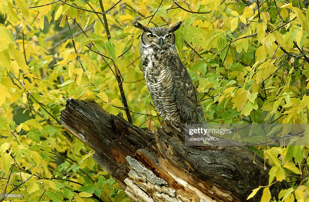 GREAT HORNED OWL ON LOG IN NORTH AMERICA : Stock Photo