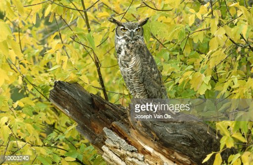GREAT HORNED OWL ON LOG IN NORTH AMERICA : Photo