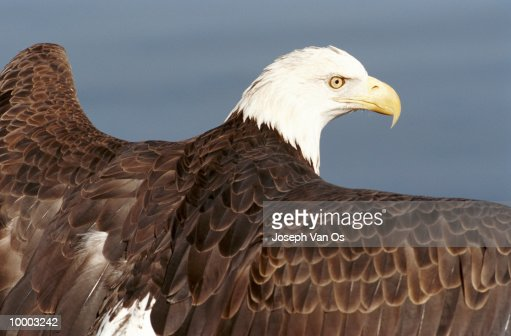 BALD EAGLE IN NORTH AMERICA IN DETAIL : Stock Photo