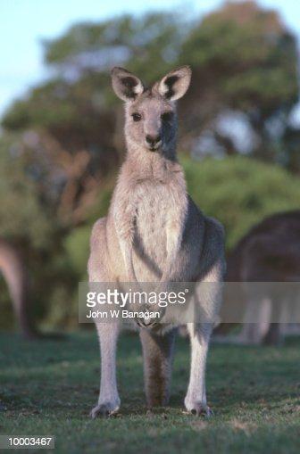KANGAROO IN AUSTRALIA : Stock Photo