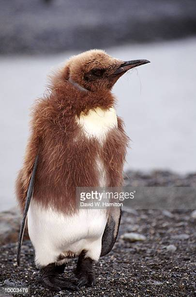 KING PENGUIN CHICK ON THE SOUTH GEORGIA ISLANDS