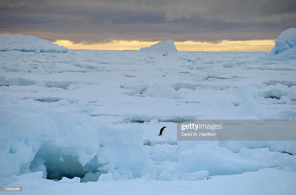 OVERVIEW OF A LONE ADELIE PENGUIN IN THE ANTARCTICA : Stock Photo