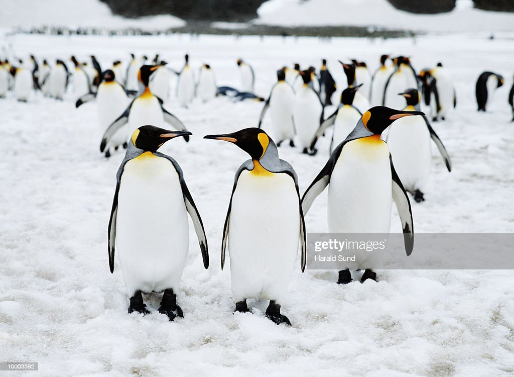 KING PENGUINS IN SOUTH GEORGIA, SOUTH ATLANTIC : Stock Photo