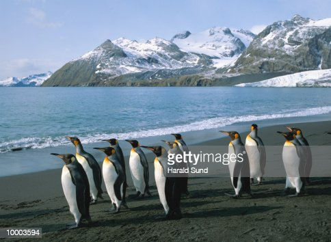 KING PENGIUNS IN SOUTH GEORGIA, SOUTH ATLANTIC : Stock Photo
