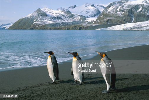 KING PENGUINS IN SOUTH GEORGIA, SOUTH ATLANTIC : ストックフォト