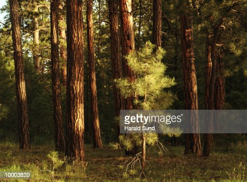 PINE TREES IN THE KAIBAB NATIONAL FOREST IN UTAH : ストックフォト