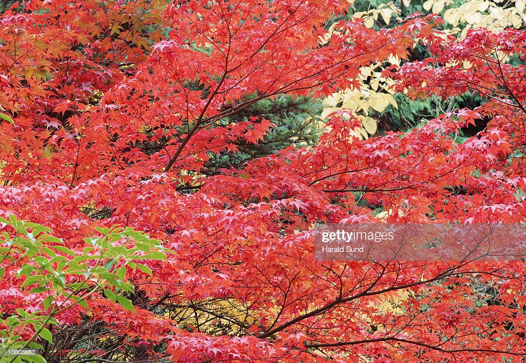 AUTUMN TREES IN WASHINGTON : Stock Photo