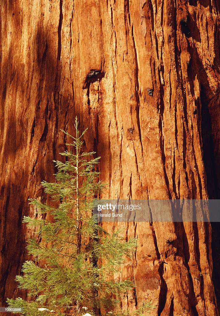 SEQUOIA TREES AT THE SEQUOIA NATIONAL PARK IN CALIFORNIA : Stock Photo