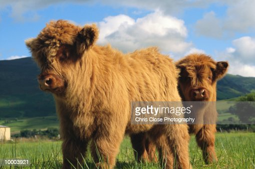 YOUNG HIGHLAND COWS IN SCOTLAND : Stock Photo