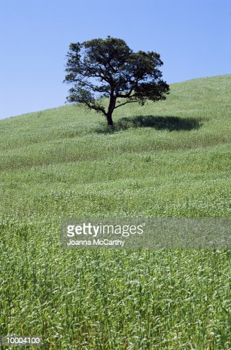 LONE TREE ON HILLSIDE : Stock Photo