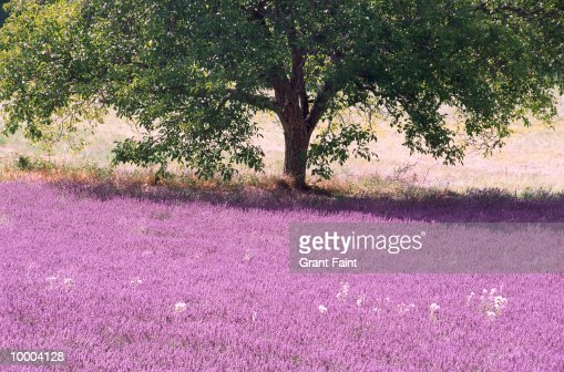 TREE & LAVENDER FIELD IN PROVENCE, FRANCE : Stock-Foto