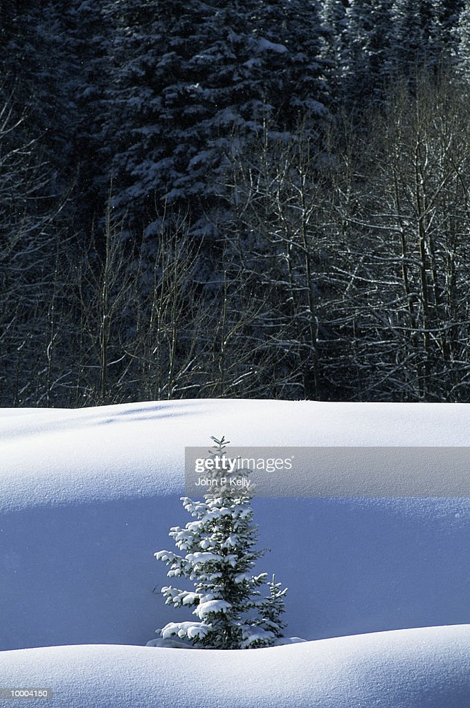 SNOWY PINE TREE ON HILL WITH WINTER FOREST : Stock-Foto