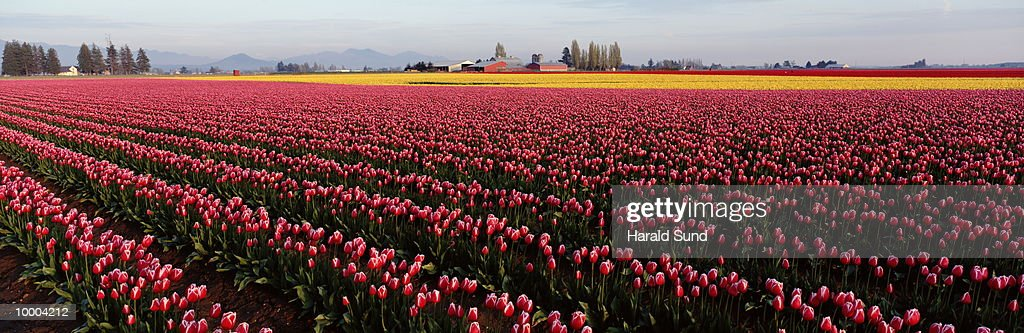 RED WITH WHITE AND YELLOW TULIP FIELDS IN WASHINGTON : Stock Photo
