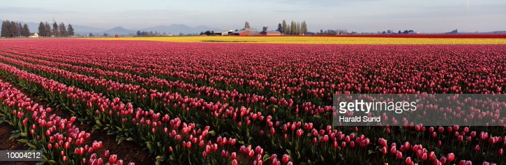 RED WITH WHITE AND YELLOW TULIP FIELDS IN WASHINGTON : Photo