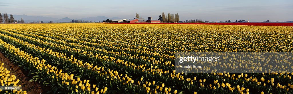 RED,WHITE, YELLOW, RED TULIP FIELDS IN WA : Stock-Foto