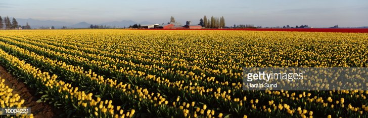 RED,WHITE, YELLOW, RED TULIP FIELDS IN WA : Stock Photo